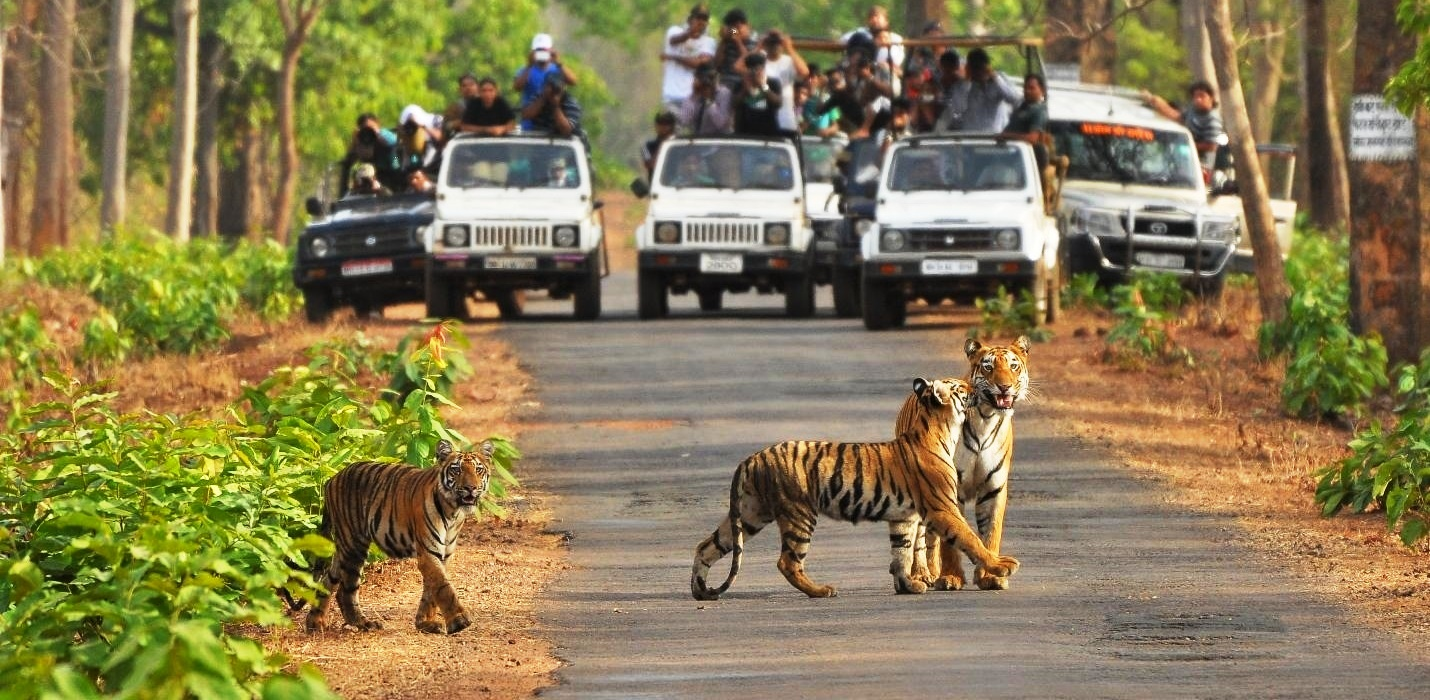 Spot Tiger At Moharli Gate Tadoba- Confirm tadoba Jeep Safari