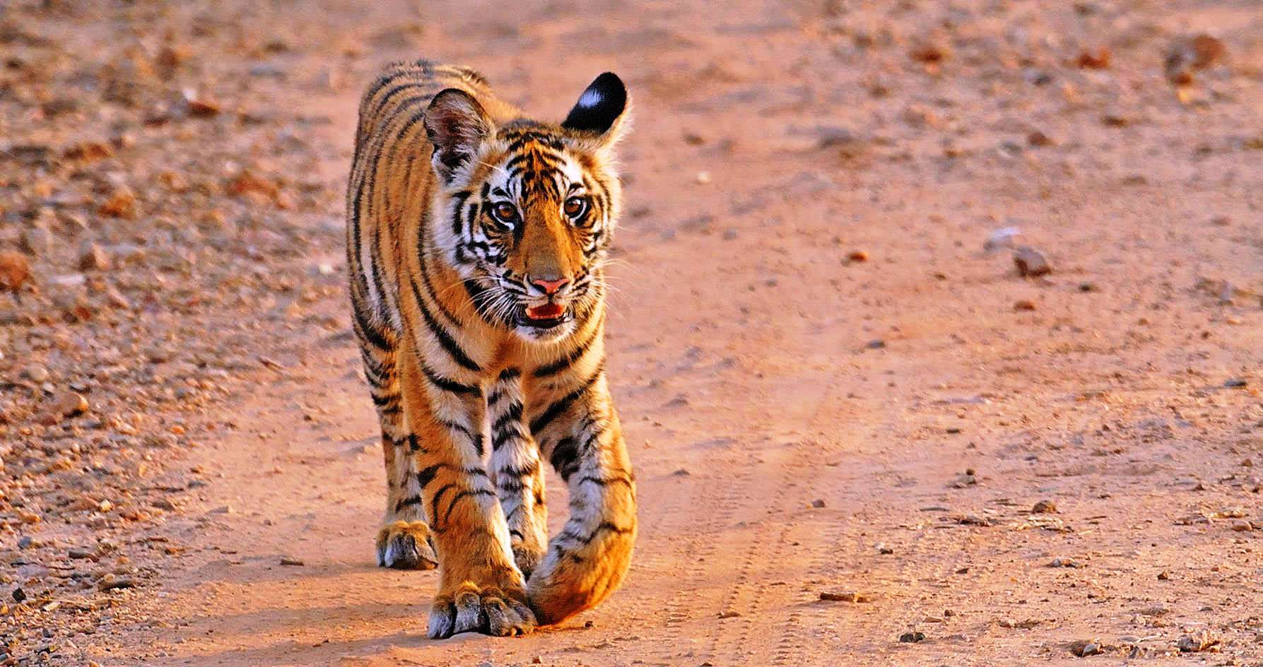 Spotting Tiger in Tadoba Tiger Reserve- confirm tadoba jeep safari